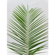 Зелень «Робеллини» фото