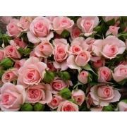 Роза кустовая нежно-розовая «Лидия» фото