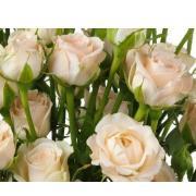 Роза кустовая кремовая (бежевая) «Яна» фото