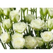 Роза кустовая белая «Сноуфлейк» фото